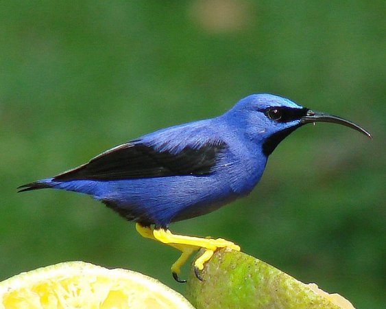 Photo (11): Purple Honeycreeper