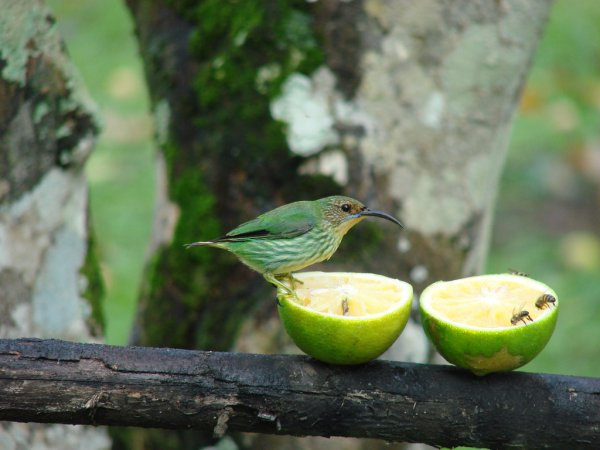 Photo (8): Purple Honeycreeper