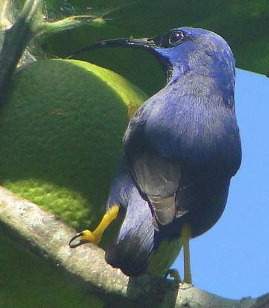 Photo (9): Purple Honeycreeper