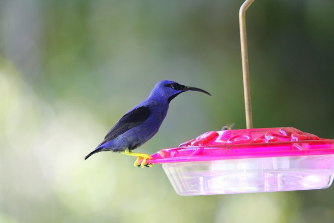 Photo (1): Purple Honeycreeper