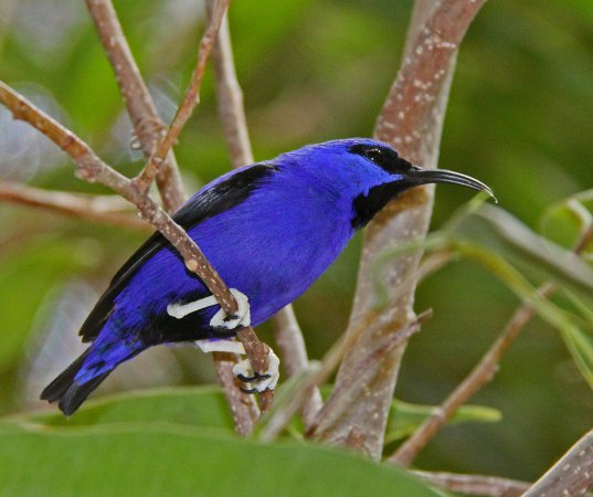 Photo (14): Purple Honeycreeper