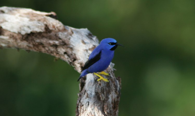 Photo (5): Purple Honeycreeper