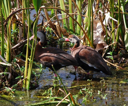 Photo (15): Black-bellied Whistling-Duck