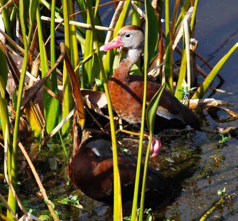 Photo (16): Black-bellied Whistling-Duck