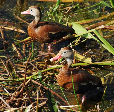 Photo (13): Black-bellied Whistling-Duck