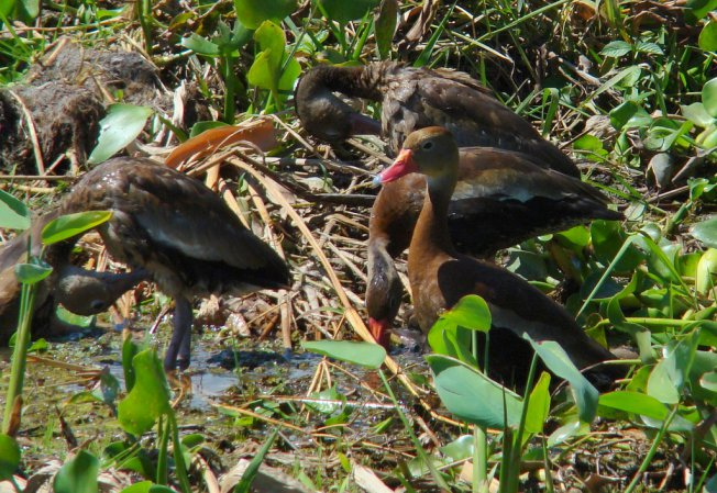 Photo (25): Black-bellied Whistling-Duck