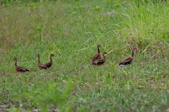Photo (24): Black-bellied Whistling-Duck