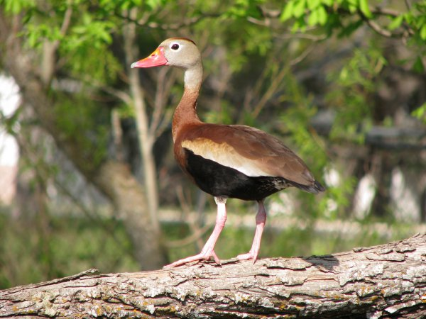 Photo (7): Black-bellied Whistling-Duck