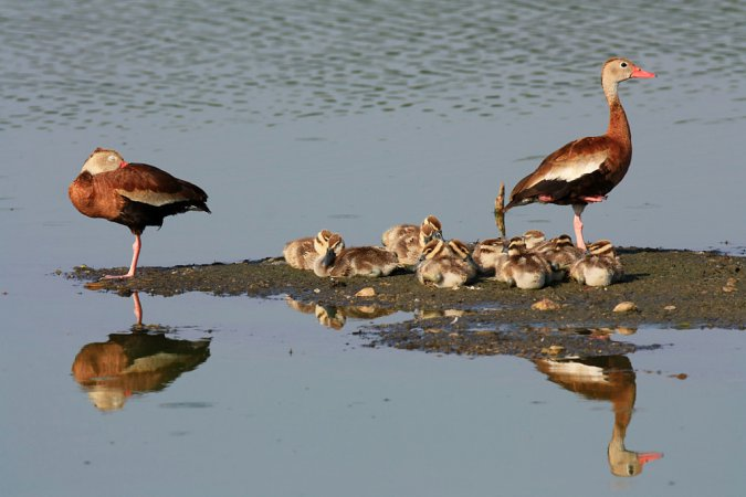 Photo (22): Black-bellied Whistling-Duck