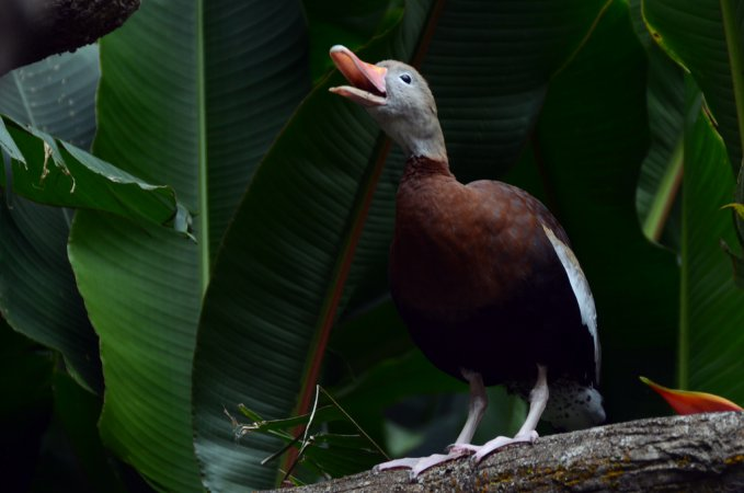 Photo (17): Black-bellied Whistling-Duck