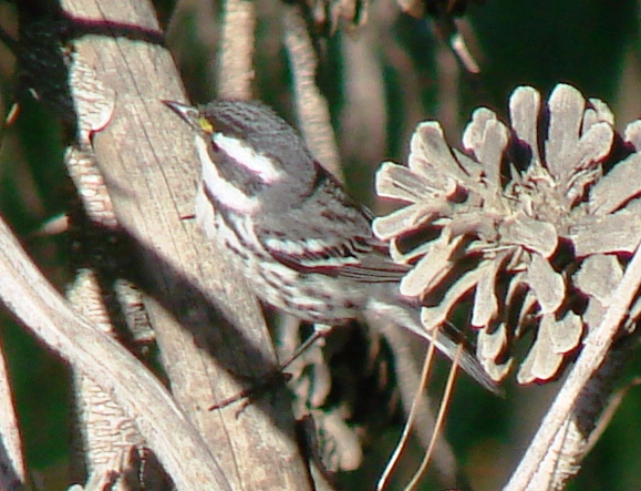 Photo (18): Black-throated Gray Warbler