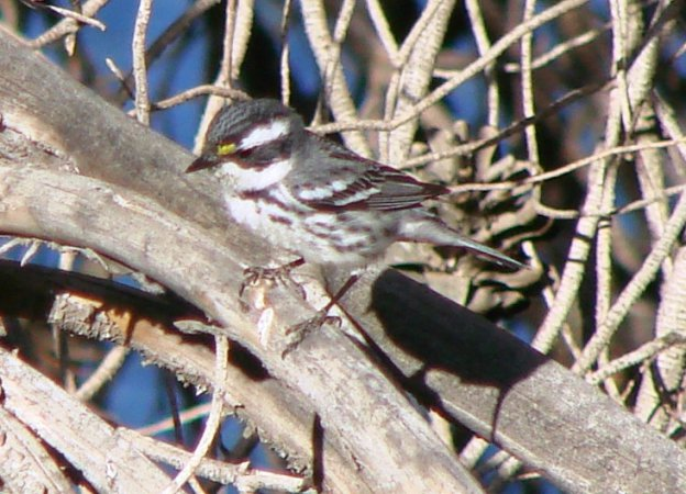Photo (20): Black-throated Gray Warbler
