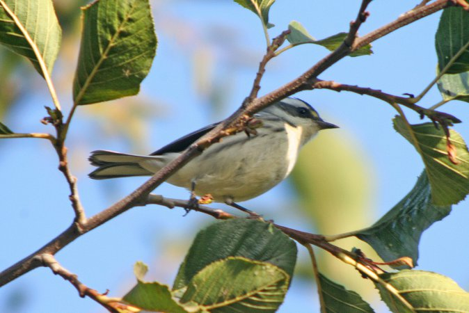 Photo (17): Black-throated Gray Warbler