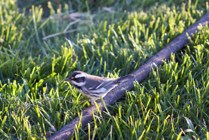 Photo (13): Black-throated Gray Warbler