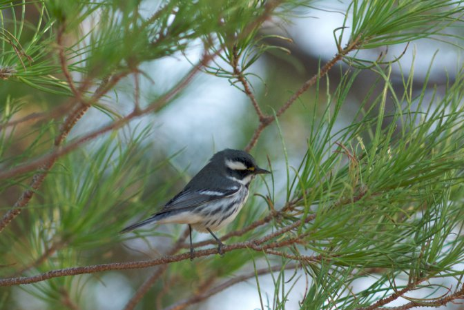 Photo (19): Black-throated Gray Warbler