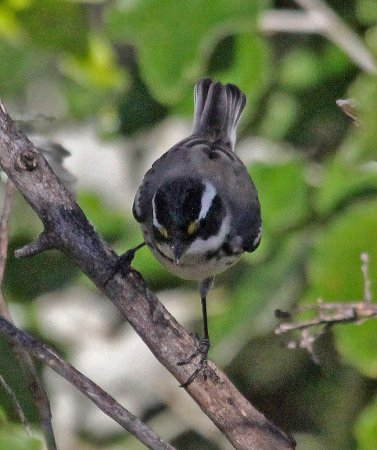 Photo (16): Black-throated Gray Warbler