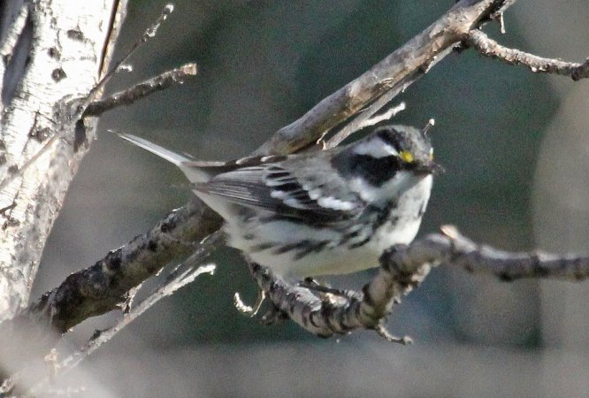 Photo (15): Black-throated Gray Warbler