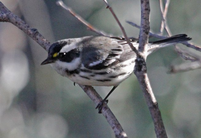Photo (14): Black-throated Gray Warbler