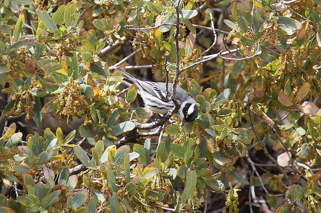 Photo (12): Black-throated Gray Warbler