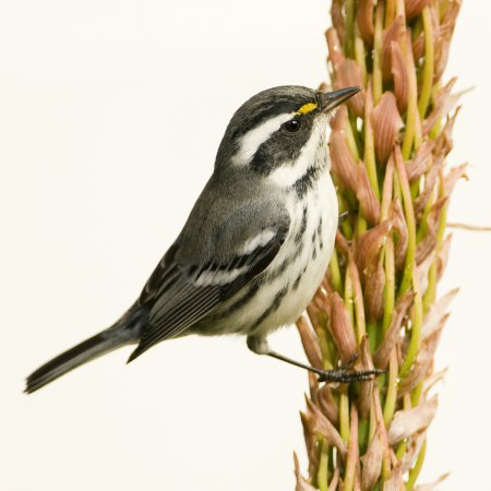 Photo (2): Black-throated Gray Warbler