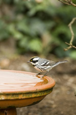 Photo (11): Black-throated Gray Warbler