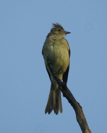 Photo (1): Yellow-bellied Elaenia