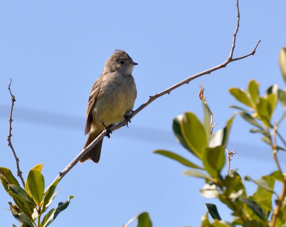 Photo (14): Yellow-bellied Elaenia