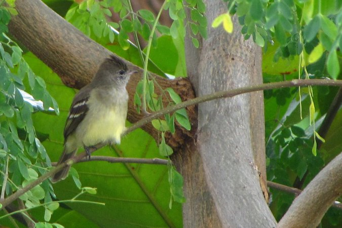 Photo (20): Yellow-bellied Elaenia