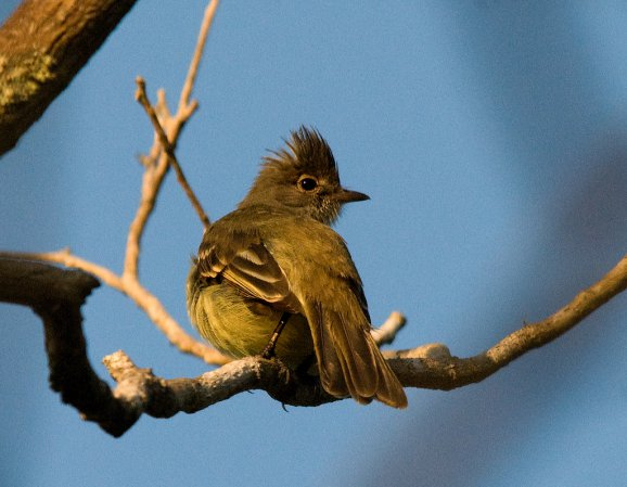 Photo (9): Yellow-bellied Elaenia