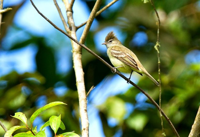 Photo (19): Yellow-bellied Elaenia