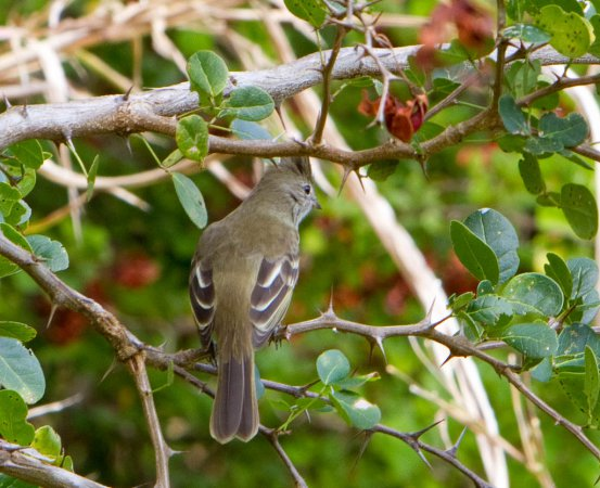 Photo (17): Yellow-bellied Elaenia