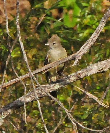 Photo (15): Yellow-bellied Elaenia