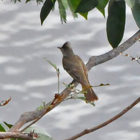 Photo (2): Yellow-bellied Elaenia