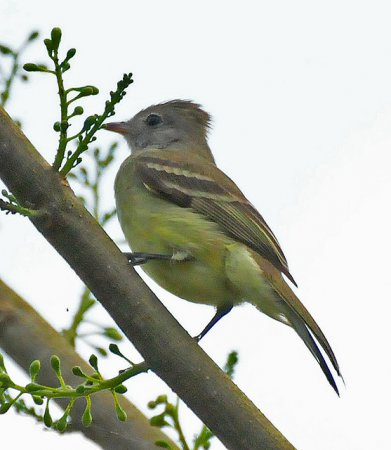 Photo (5): Yellow-bellied Elaenia