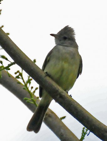 Photo (16): Yellow-bellied Elaenia