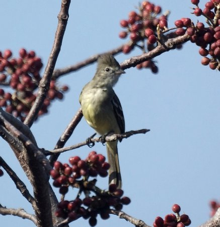 Photo (12): Yellow-bellied Elaenia