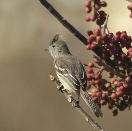 Photo (4): Yellow-bellied Elaenia
