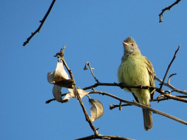 Photo (3): Yellow-bellied Elaenia