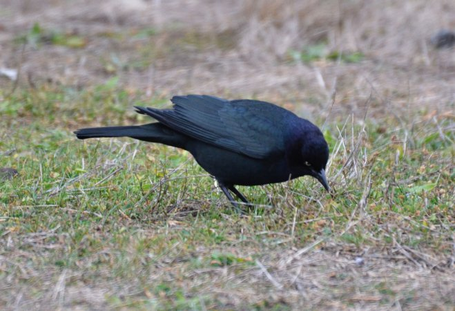 Photo (9): Brewer's Blackbird