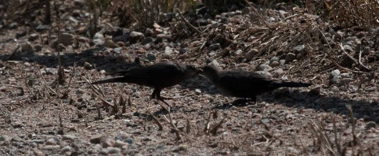 Photo (21): Brewer's Blackbird