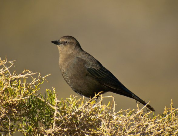 Photo (2): Brewer's Blackbird