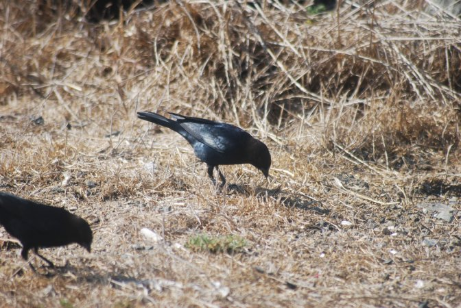 Photo (14): Brewer's Blackbird