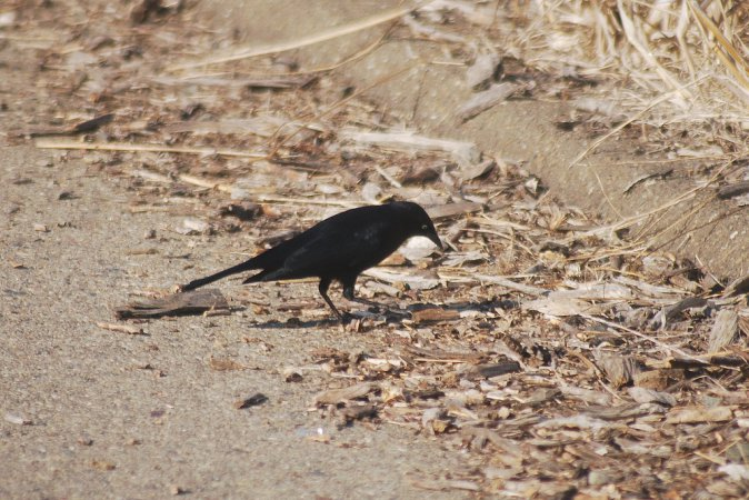 Photo (18): Brewer's Blackbird