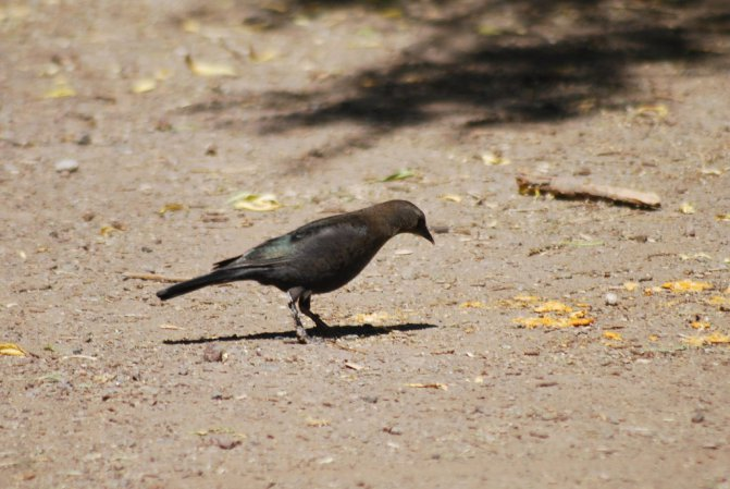 Photo (15): Brewer's Blackbird