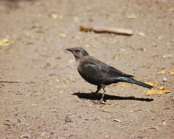 Photo (6): Brewer's Blackbird