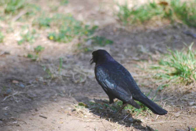 Photo (20): Brewer's Blackbird