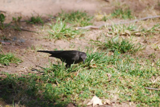 Photo (13): Brewer's Blackbird