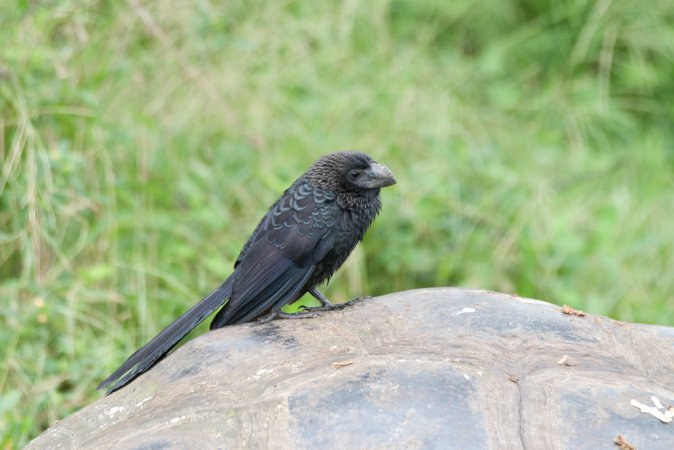 Photo (9): Smooth-billed Ani