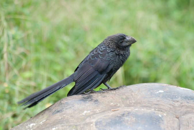 Photo (3): Smooth-billed Ani