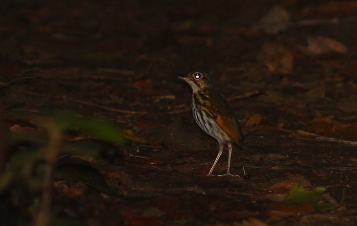 Photo (1): Streak-chested Antpitta